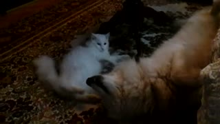Battle of the fluffy pets: Cat vs dog play-fight!