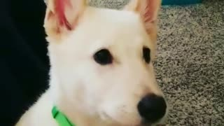 White puppy howls on grey carpet - Video