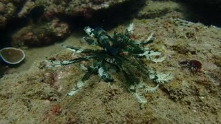 Feather Starfish Swimming and Walking - Video