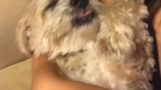 White dog getting belly rub in owners arms - Video