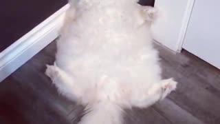 crazy cat sitting and waving with her tail - Video
