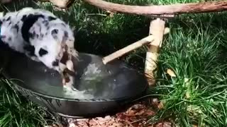 Small spotted puppy runs to outside water bowl and plays in it
