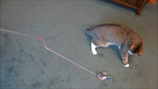 Blind kitten plays with favorite toy - Video