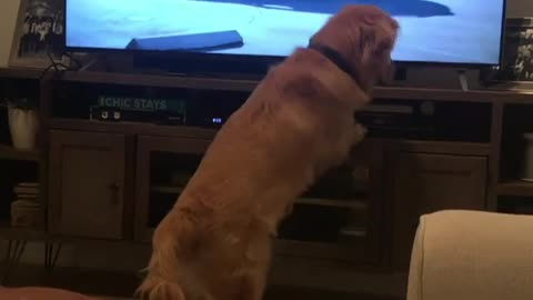 Golden Retriever Obsessed With Dog-Themed Commercial