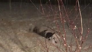 Black white dog rolls around outside in the snow at night