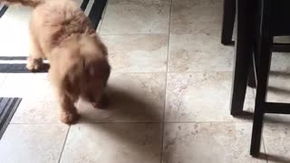 Tan puppy plays with ice cube in kitchen