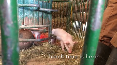 Piglets compete for a spot at the lunch buffet