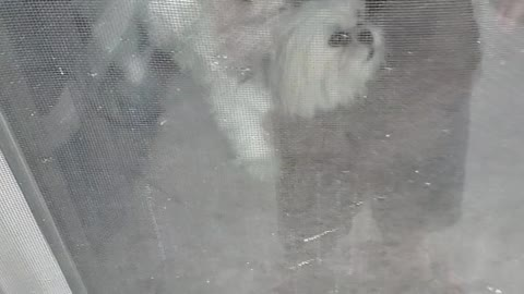 Dog go's nuts when toddler taps the glass door