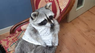Raccoon wears a white dress while adorably begging for treats