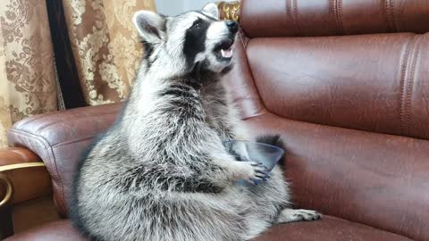 Raccoon sits on the couch, grabs the bowl with his hands, and takes out the green grapes.