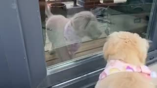 Golden Retriever Puppy Barking at her Reflection