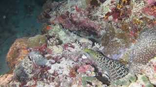 Octopus vs Moray Eel in Veliganu North- Part Two