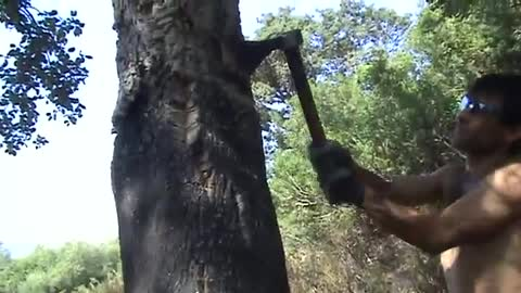 Harvesting raw cork from a tree in Italy
