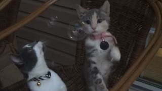 Two kittens play with bubbles  - Video