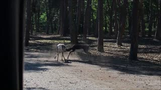 Blackbucks fighting few yards away from zoo visitors car  - Video