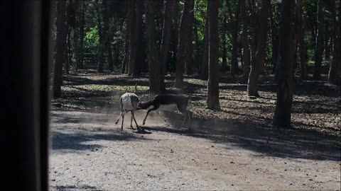 Blackbucks fighting few yards away from zoo visitors car