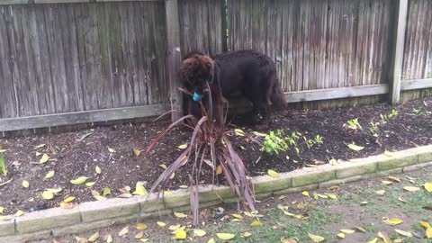 Giant Newfoundland puppy attemtps to hide from owner