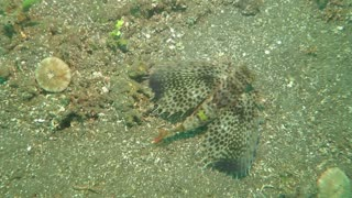 Beautiful Flying Gurnard - Video
