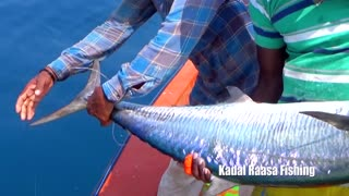 The Largest Kingfish Barracuda Ever To Fish