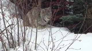 This Is One Of The Closest Footages Of A Friendly Lynx Caught On Camera - Video