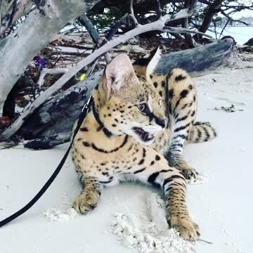 Stryker The Cat Chillin on the beach!