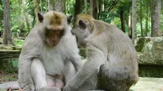 They Grooming Each Other Very Nice Monkey - Video