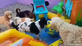 Dog pool party - Video