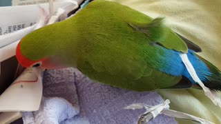 Green bird putting paper in between feathers  - Video