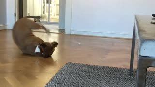 Brown dog with white paws rolling around on wood floor