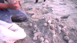 Drones to curb poaching of turtle eggs - Video