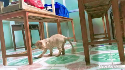 Funny pet belly dumb play in the classroom, mischievous kitties in the classroom