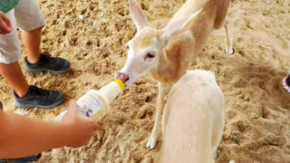Zoo visitors bottle-feed adorable albino fawns