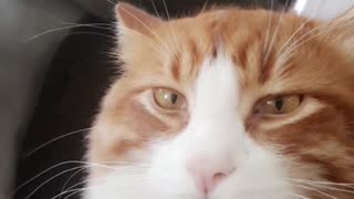 Music orange cat looking at camera zoomed in face - Video