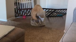 Golden Retriever puppy logic: If I fits, I sits