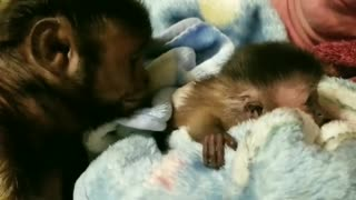 Capuchin preciously welcomes new baby addition