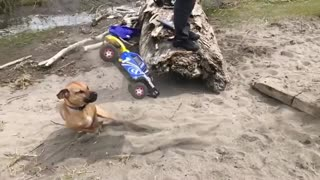 Collab copyright protection - brown dog hit with remote ctrl car