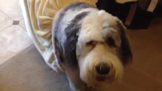 Fluffy grey and white big dog in multiple outfits - Video