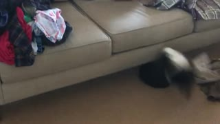 Small black puppy chasing red shirt girl misses couch jump - Video