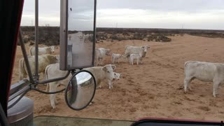 Cute Cows Cause Slow Commute