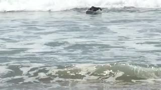White board surfer wipes out from small wave - Video
