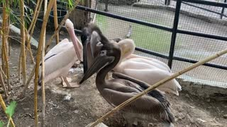 pelicans love to chat