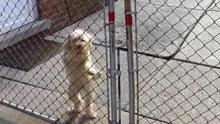 White dog grey gate happy to see woman - Video