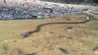 Scrub Python Swimming - Video