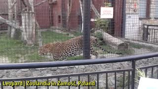 Leopard | Zoolandia in Zamość, Poland - Video