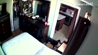 Black dog slides off white bed unto floor  - Video