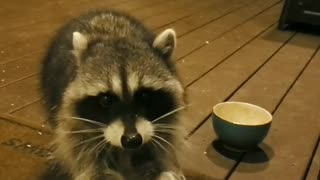 Friendly Wild Hand-Fed Raccoon