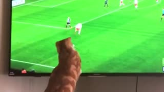 Soccer-loving cat enthusiastically watches game on TV - Video