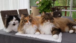 Swedish Siberian cats move heads in sync