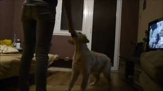 How to train your dog to speak - Video