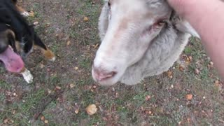 Woman gets knocked over by overly-friendly lamb
